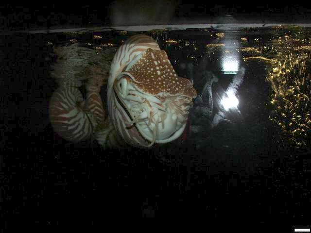 Nautilus at the Siam Ocean World